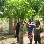 Sous un manguier greffé